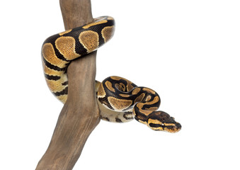 Royal python on a branch, Python regius, isolated on white