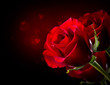 Red Rose Flower isolated on Black. St. Valentine