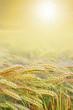 canvas print picture - goldenes Erntefeld mit strahlender Sonne