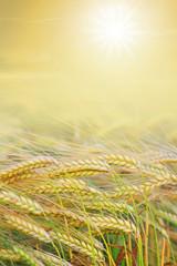 goldenes Erntefeld mit strahlender Sonne