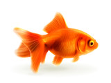 Goldfish, photorealistic vector illustration