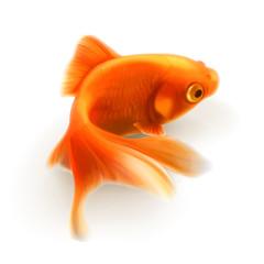 Goldfish, photorealistic vector illustration