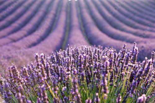 Lavender field during sunrise
