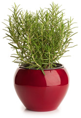 Rosemary in red  pot