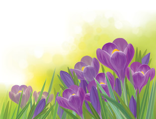 Vector spring crocus  flowers on spring background.