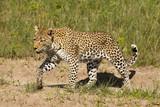 Leopard spaziert