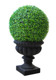 Ornamental Small green decorative tree