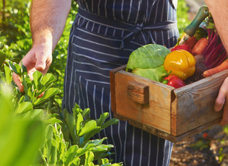 Chef harvesting at local organic farm