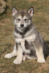 Puppy of Alaskan Malamute in spring