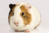 On a white background Guinea pig.