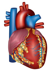Human heart detailed anatomy, colorful design