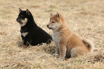 Two puppies of Shiba inu together
