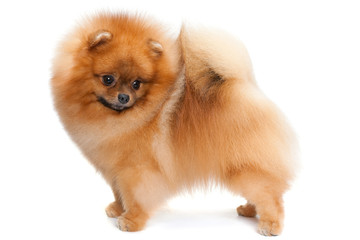 Pomeranian spitz on the white