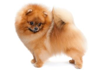 Pomeranian spitz on the white