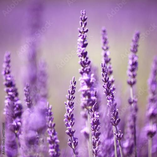 Lavender flower - 60756644