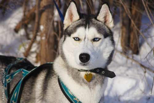 Siberian Husky in harness