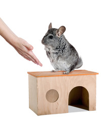 Grey chinchilla and human hands. isolated.