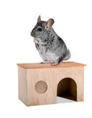 Grey chinchilla.