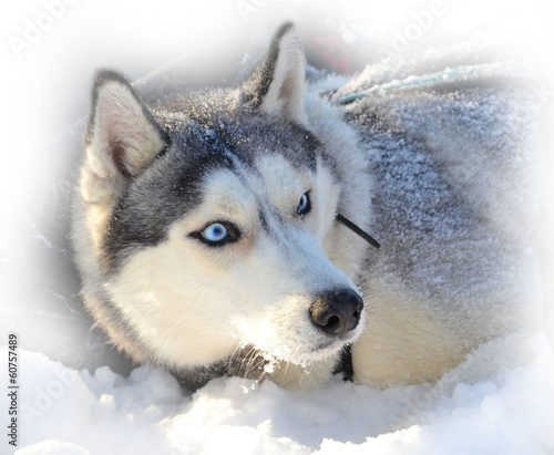 blue-eyed Siberian Husky buried in snow