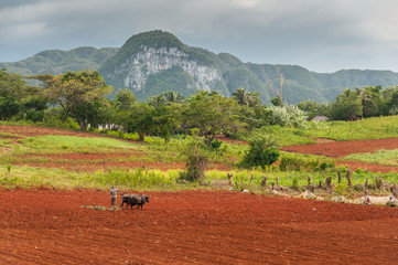 VINALES, CUBA Cuban farmer plows his field