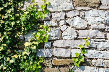 Green background with ivy plants covering stone wall