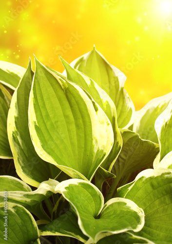 Green leaves of a hosta