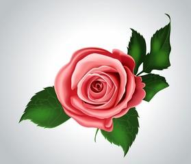 Розовая роза на сером фоне