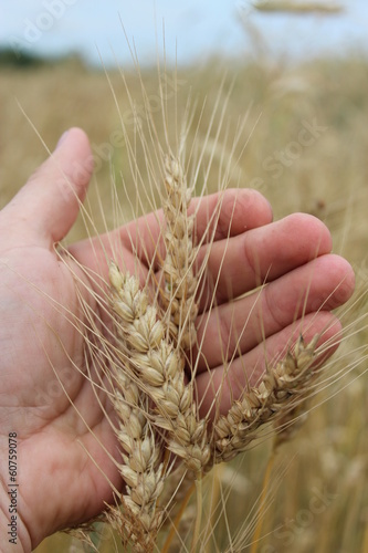 spikelets of the wheat in the hand