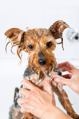 Little yorkshire dog getting washed.