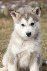 Portrait of Alaskan Malamute puppy