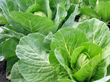 cabbage plantation