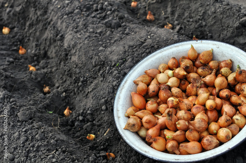 close-up of onion in planting process
