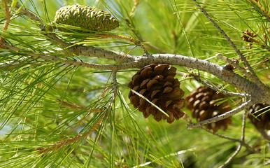 Ramas de pino con piñas