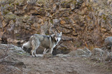 Gray wolf dog standing in red rocky canyon