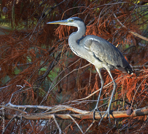portrait of blue heron in foliage at sunset