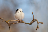 Long-tailed tit sitting on branch