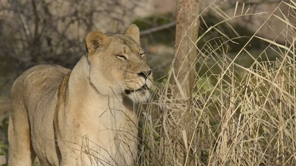 Lioness Watching Her Territory 2