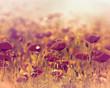 Poppy flower in a meadow