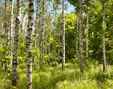 Fototapeta Spring forest