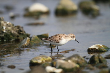 Spoon-billed sandpiper (Eurynorhynchus pygmeus) in Japan
