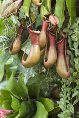 Tropical pitcher plant (nepenthes)