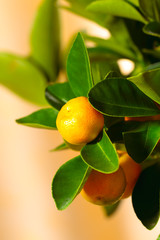 Calamondin tree