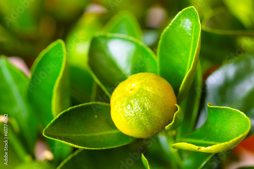 Calamondin branch with fruit