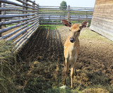 Beautiful little spotted fawn in the aviary. poster