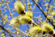 Pussy-willow in spring