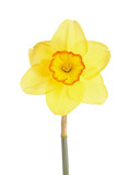 Single flower of a daffodil cultivar against a white background poster