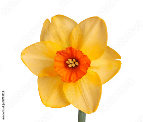Staande foto Narcis Single flower of a daffodil cultivar against a white background
