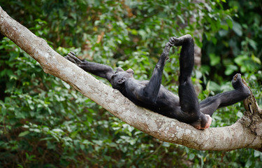 The laughing Bonobo