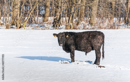 Iced Angus bull in newly fallen snow