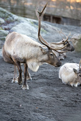 reindeer portrait in winter time